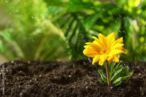 Fresh flower in fertile soil under rain, space for text - 300714316