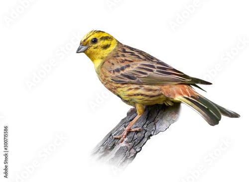 Canvas Prints Bird Yellowhammer on white