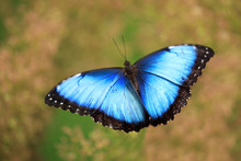 Woman Holding Beautiful Blue Morpho Butterfly Outdoors, Closeup