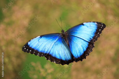 Fotomural Woman holding beautiful Blue Morpho butterfly outdoors, closeup