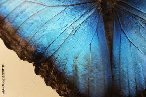 Fotografie, Obraz  Closeup view of beautiful Blue Morpho butterfly