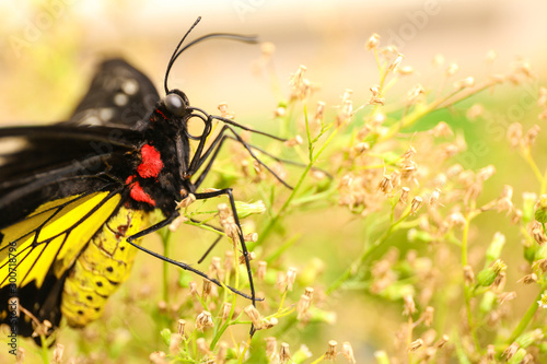 Beautiful common Birdwing butterfly on plant outdoors, closeup Wallpaper Mural