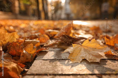 Canvas Prints Autumn Dry leaves on paved street in sunny autumn park, closeup