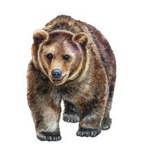 Brown Bear Walking In Front Is...