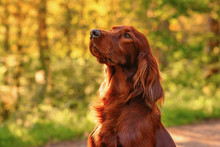 Irish Red Setter Portrait On G...