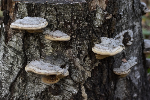 Beautiful forest mushrooms with a white cap and brown specks on a stump Canvas Print