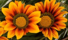 Closeup Shot Of Two Gorgeous African Daisies With Beautiful Orange Petals - Perfect For Wallpaper