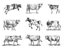 Breeding Cow. Animal Husbandry...