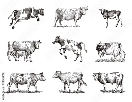 Fotografia, Obraz breeding cow. animal husbandry. sketches on a grey background