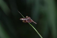 Dragonfly Resting On A Reed