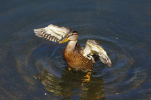 Wild Duck With Wings Spread