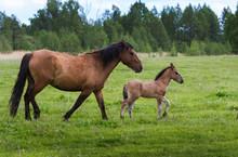 Horses Graze In The Summer On ...