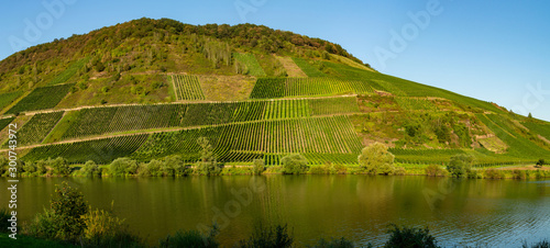 Famous green terraced vineyards in Mosel river valley, Germany, production of quality white and red wine, riesling #300743972