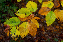 Leaves Of A Beech Tree In Autumn