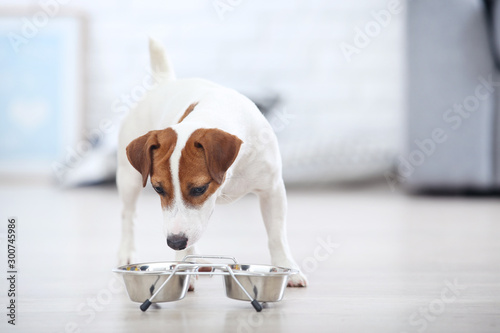 Fotografie, Obraz Beautiful Jack Russell Terrier dog eating dry food from bowl