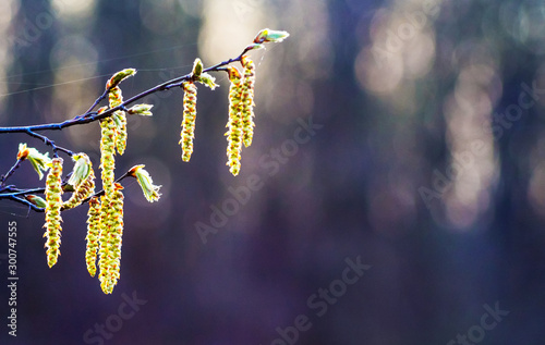 Fotografia  Birch branch with earrings on dark background in sunny weather