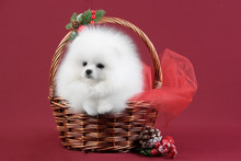 White Pomeranian Puppy On Background