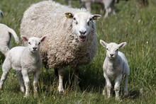 Sheep Mother With Two Lambs