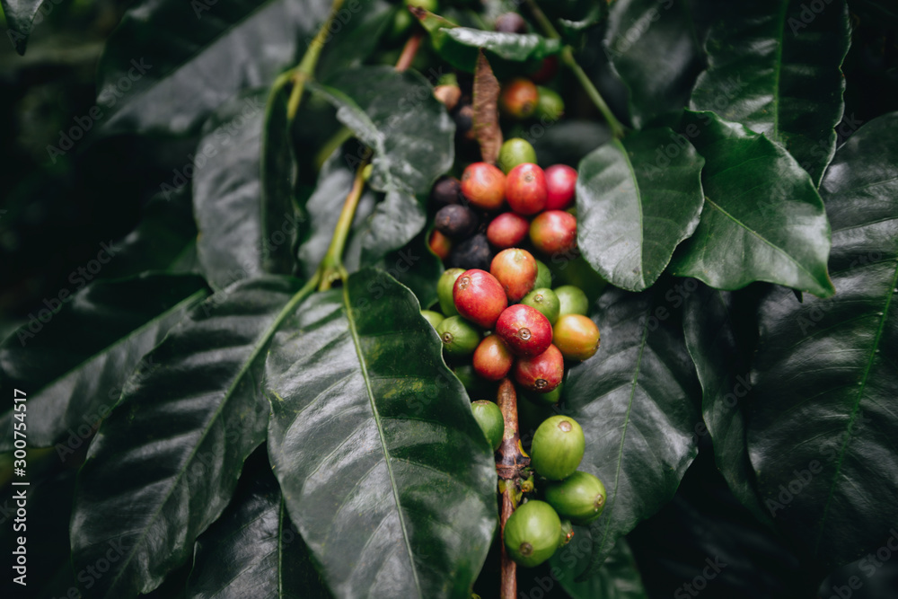 Fototapeta coffee plantation, coffee berries