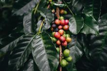 Coffee Plantation, Coffee Berr...