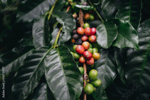 Photo coffee plantation, coffee berries