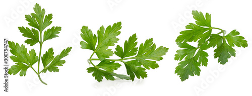 Fototapeta collection of parsley leaves isolated on a white background obraz