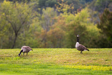 A Pair Of Geese Graze In The G...
