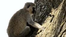 Vervet Monkey Family  In The S...