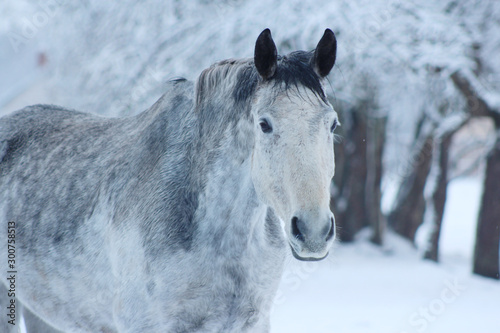 Fototapety, obrazy: grey horse with black ears stay in snow