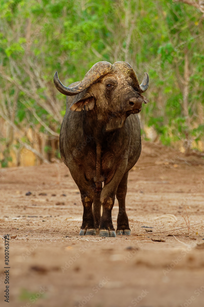 Fototapeta African Buffalo - Syncerus caffer or Cape buffalo is a large Sub-Saharan African bovine. Portrait in the bush in Zimbabwe