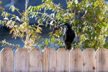 Crow Or Raven (Corvus) On A Wooden Fence Close Up Photograph