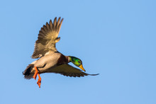A Drake Mallard Zeroes In On A...