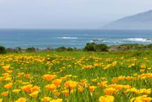 California Poppies On The Coastline