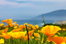 California Poppies On The Coas...