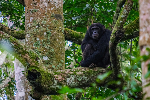 Tableau sur Toile chimpanzee in uganda