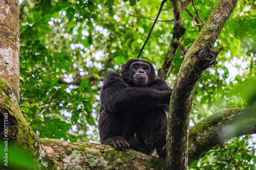 Canvas chimpanzee in uganda