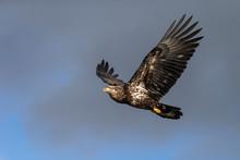 Juvenile North America Bald Eagle In Kachemak Bay, Alaska