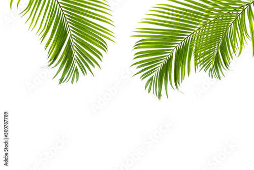 Foto auf AluDibond Palms Concept texture leaves abstract green nature background tropical leaves coconut isolated on white background