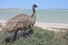 Emu Eating In Shark Bay Wester...