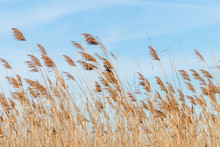 Common Reed, Dry Reeds, Blue S...
