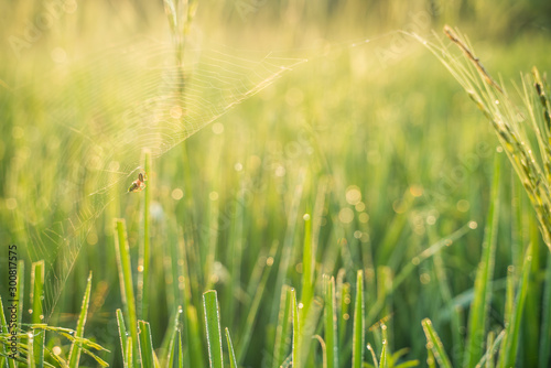 Obraz Spider on leaf of rice and green background.Rice paddy,Bokeh dew drops on the top of the rice fields in the morning sun,along with the rice fields that emphasize the soft background. - fototapety do salonu