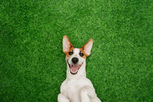 Cute  Smiling Dog Jack Russel Terrier, Lying On Green Grass.