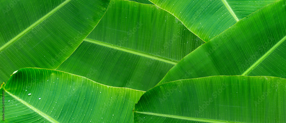 Fototapeta Green banana leaf background with copy specs for text. The leaves of the banana tree pattern.