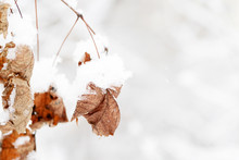 Dry Leaves Covered With Snow O...