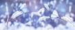Beautiful blue butterflies in the snow on the wild grass. Snowfall Artistic winter christmas natural image. Winter and spring background. Banner format.