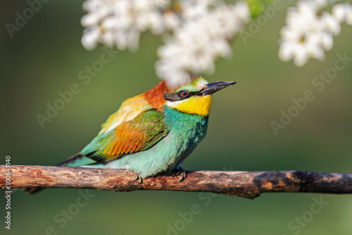 beautiful bird sits on a branch in robinia flowers