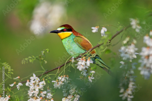 beautiful wild bird sits on a branch in robinia flowers