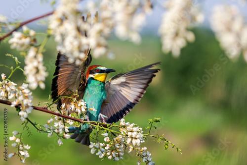 wild bird flies and lands in robinia flowers