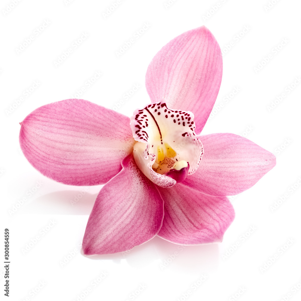 Fototapety, obrazy: Pink orchid, close up