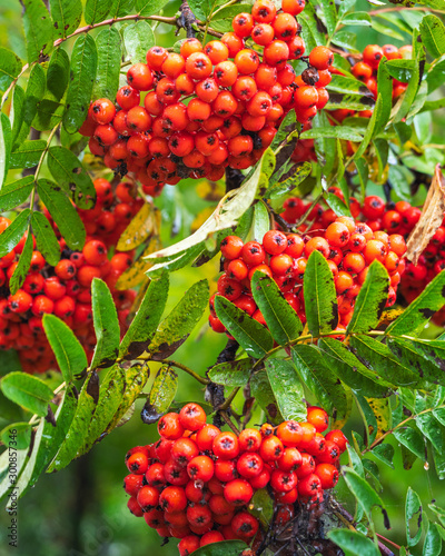 Photo Red Rowan berries on the tree in the drops of autumn rain